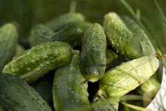 Fresh cucumbers laying in bucket on green grass. Cucumbers laying in bucket on green grass royalty free stock photography