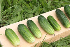 The fresh cucumbers lying on a wooden support Royalty Free Stock Image