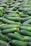 Fresh cucumbers in the market. Stock Image
