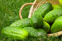 Fresh cucumbers in the vegetable basket. Stock Image