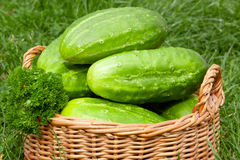 Fresh cucumbers in the vegetable basket. Stock Photo