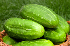 Fresh cucumbers in the vegetable basket. Royalty Free Stock Photography