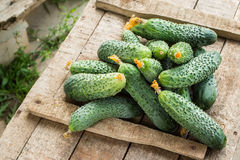 Fresh cucumbers on  wooden box. Fresh cucumbers on old  wooden box. Healthy food concept Royalty Free Stock Photo