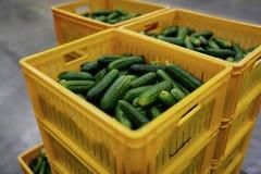 Fresh cucumbers in yellow box in factory. Fresh cucumbers in yellow box Stock Images