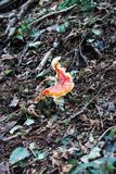 One red dotted mushroom with strange shape in the forest. Fresh and curious Amanita muscaria in the woods stock images