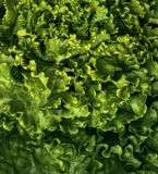 Fresh and curly green letucce. Detail Stock Images