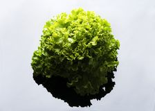 Fresh and curly green letucce. In grey reflective background Stock Image