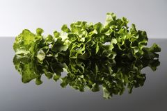Fresh and curly green letucce Stock Image