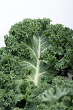 Fresh curly kale Royalty Free Stock Photos