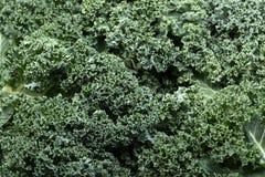 Fresh curly kale Stock Image