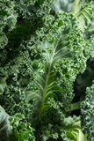 Fresh curly kale Royalty Free Stock Image