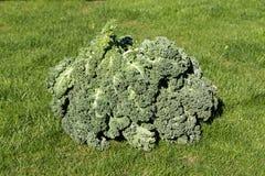 Fresh curly kale Royalty Free Stock Photo