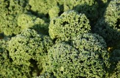 Fresh Curly kale with waterdrops. Close up of a fresh Curly kale with waterdrops on an early autumn morning royalty free stock image