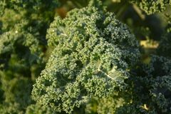 Fresh Curly kale with waterdrops. Close up of a fresh Curly kale with waterdrops on an early autumn morning stock photos