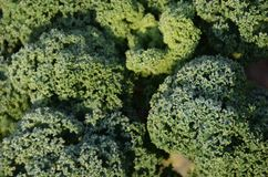 Fresh Curly kale with waterdrops. Close up of a fresh Curly kale with waterdrops on an early autumn morning royalty free stock photography