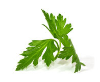 Fresh curly leaf parsley Royalty Free Stock Photos