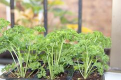 Fresh curly parsley is growing on the window sill Stock Photos
