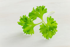 Fresh curly parsley Stock Photos