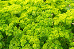 Fresh curly parsley in natural settings. Fresh curly parsley with lots of green leaves in natural settings Royalty Free Stock Image