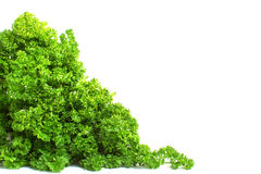 Fresh curly parsley Royalty Free Stock Photos