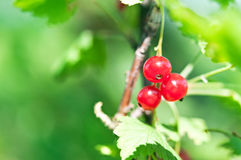 Fresh currant Royalty Free Stock Photo