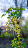 Fresh currant flowers Royalty Free Stock Image