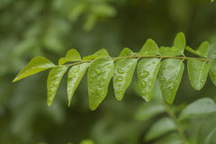 Fresh curry leaves. Stock Photography