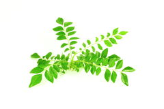 Fresh curry leaves or curry patta herb closeup on white background Royalty Free Stock Photography