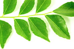 Fresh curry leaves or curry patta herb closeup on white background Royalty Free Stock Photos