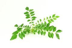 Fresh curry leaves or curry patta herb closeup on white background Royalty Free Stock Images