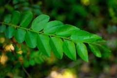 Fresh curry leaves food ingredient stock images