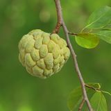 Fresh custard apple royalty free stock photo