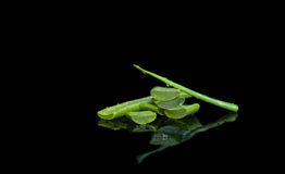 Fresh cut aloe vera leaf isolated Stock Photography