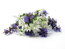 Fresh cut chionodoxa Royalty Free Stock Photos