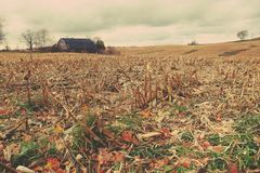 Fresh cut corn and rustic barn with softlight filter. Freshly cut corn stalks in a farm field with a rustic looking barn field on a cloudy fall day Royalty Free Stock Images
