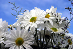 Fresh cut daisies (Asteraceae) with a blue sky. Close up of fresh cut daisies (Asteraceae) with a blue sky background stock photo
