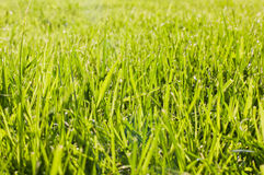 Fresh Cut Grass Royalty Free Stock Photo