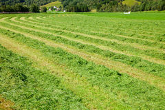 Fresh Cut Hay In A Field Royalty Free Stock Photography