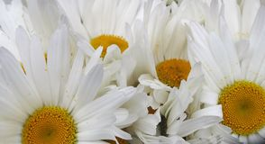 Bunch of white Daisy flowers in a Honduras Market. Fresh cut in a Honduras Market, a bunch of Daisy white flowers Stock Image