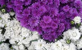 Combination of violet and white flowers. Fresh cut in a Honduras Market, a bunch of violet and white flowers Royalty Free Stock Image