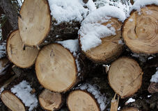 Fresh cut Pine Logs Stacked Snow Covered. Fresh cut pine logs with distinct saw marks and lots of clearly shown rings with snow covering and dripping sap Royalty Free Stock Photos