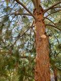 Fresh cut on pine tree royalty free stock photo