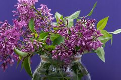 Fresh cut Purple Lilac Flowers in clear glass vase on purple. Syringa vulgaris. Fresh cut Purple Lilac Flowers in clear glass vase on purple background. Syringa royalty free stock image