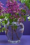 Fresh cut Purple Lilac Flowers in clear glass vase on purple. Syringa vulgaris. Fresh cut Purple Lilac Flowers in clear glass vase on purple background. Syringa royalty free stock photos