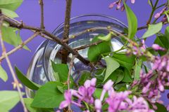 Fresh cut Purple Lilac Flowers in clear glass vase on purple. Syringa vulgaris. Fresh cut Purple Lilac Flowers in clear glass vase on purple background. Syringa stock images