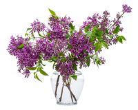 Fresh cut Purple Lilac Flowers in clear glass vase on white. Syringa vulgaris. Fresh cut Purple Lilac Flowers in clear glass vase on white background. Syringa stock photography