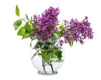 Fresh cut Purple Lilac Flowers in clear glass vase on white. Syringa vulgaris. Fresh cut Purple Lilac Flowers in clear glass vase on white background. Syringa royalty free stock photo