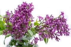 Fresh cut Purple Lilac Flowers in clear glass vase on white. Syringa vulgaris. Fresh cut Purple Lilac Flowers in clear glass vase on white background. Syringa stock image