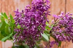 Fresh cut Purple Lilac Flowers in clear glass vase on wood. Syringa vulgaris. Fresh cut Purple Lilac Flowers in clear glass vase on wooden background. Syringa royalty free stock photos