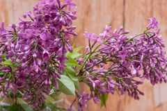 Fresh cut Purple Lilac Flowers in clear glass vase on wood. Syringa vulgaris. Fresh cut Purple Lilac Flowers in clear glass vase on wooden background. Syringa royalty free stock photography